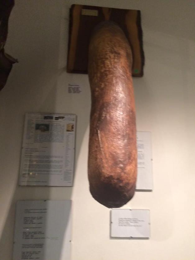 elphephant penis