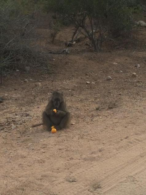 baboon eating orange